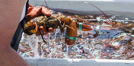 Why is Maine Lobster So Delicious?